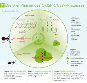 Überblick der drei Phasen des CRISPR/Cas9-Prozesses (nach Doudna & Charpentier 2014, übernommen aus www.pflanzenforschung.de), CC BY-SA 3.0